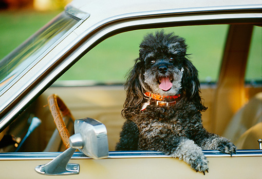 DOG 05 RK0254 01 © Kimball Stock Shoulder Shot Of Black Poodle Standing In Car