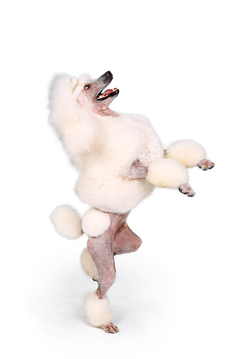DOG 05 RK0273 01 © Kimball Stock Continental Poodle Standing On Hind Legs On White Seamless