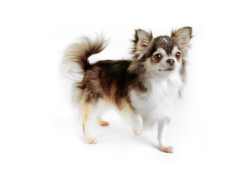 DOG 05 RK0278 03 © Kimball Stock Long-haired Chihuahua Standing On White Seamless Studio