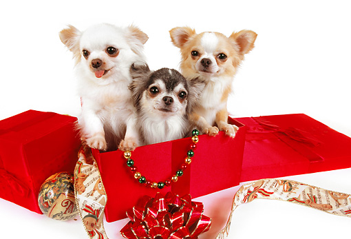 DOG 05 RK0284 01 © Kimball Stock Three Long-haired Chihuahuas Sitting In Christmas Box On White Seamless