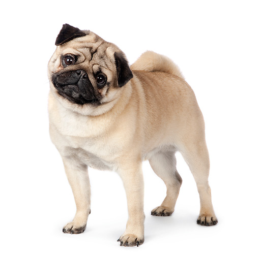 DOG 05 RK0419 01 © Kimball Stock Pug Standing On White Seamless