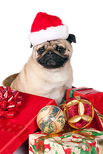 DOG 05 RK0424 01 © Kimball Stock Pug Sitting In Gift Boxes On White Seamless Wearing Santa Hat