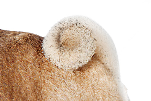 DOG 05 RK0427 01 © Kimball Stock Close-Up Of Pug Tail On White Seamless