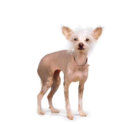 DOG 05 RS0008 02 © Kimball Stock Chinese Crested Dog With Collar White Background