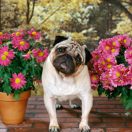 DOG 05 RS0019 04 © Kimball Stock Portrait Of Pug By Potted Flowers Trees Background