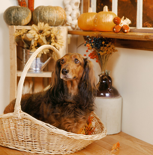 DOG 05 RS0046 06 © Kimball Stock Long-haired Dachshund Sitting In Basket By Gourds In Pantry