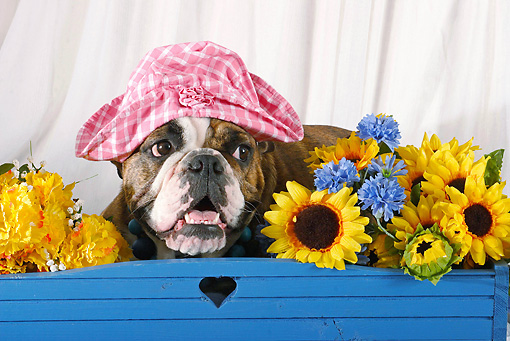 DOG 05 SJ0003 01 © Kimball Stock Portrait Of English Bulldog Wearing Pink Hat By Sunflowers In Studio