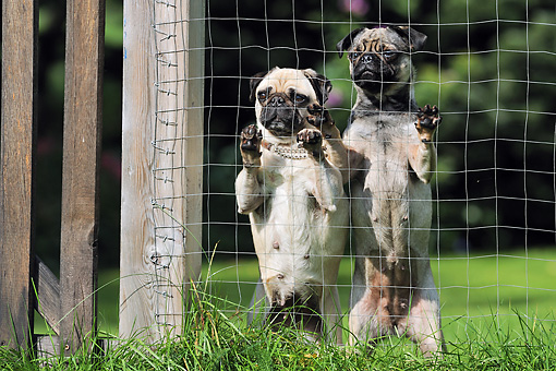 DOG 05 SS0007 01 © Kimball Stock Two Pugs Leaning On Wire Fence