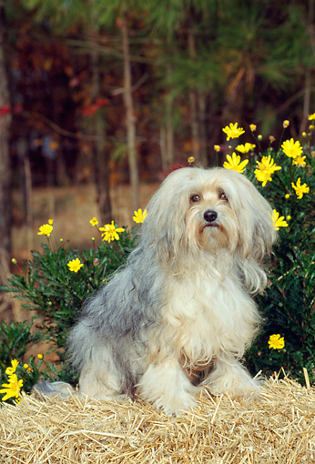 DOG 05 CE0001 01 © Kimball Stock Lowchen Sitting On Hay Bale By Yellow Flowers