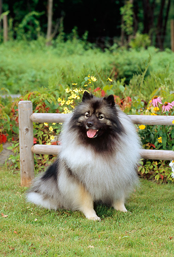 DOG 05 CE0004 01 © Kimball Stock Keeshond Sitting On Grass By Fence And Flowers