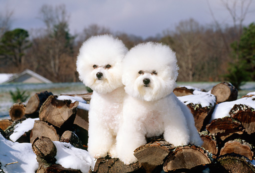 DOG 05 CE0005 01 © Kimball Stock Two Bichon Frises Standing On Snow-Covered Woodpile