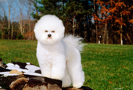 DOG 05 CE0006 01 © Kimball Stock Bichon Frise Standing On Snow-Covered Woodpile