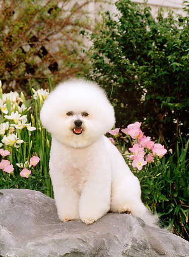 DOG 05 CE0007 01 © Kimball Stock Bichon Frise Sitting On Rock By Flowers Shrubs House