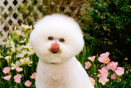 DOG 05 CE0008 01 © Kimball Stock Shoulder Shot Of Bichon Frise Licking Nose Sitting By Flowers Shrubs House
