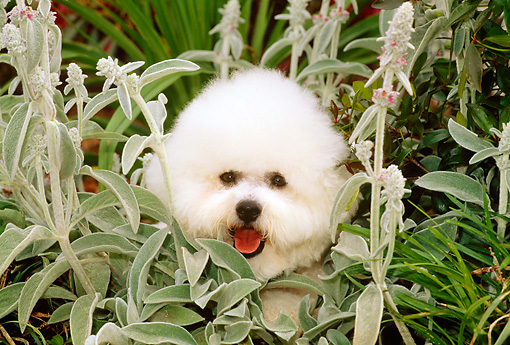 DOG 05 CE0010 01 © Kimball Stock Head Shot Of Bichon Frise Laying In Plants
