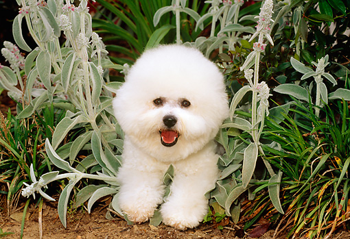 DOG 05 CE0011 01 © Kimball Stock Bichon Frise Laying In Plants