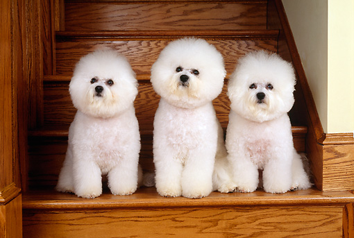 DOG 05 CE0014 01 © Kimball Stock Three Bichon Frises Sitting On Wooden Stairs