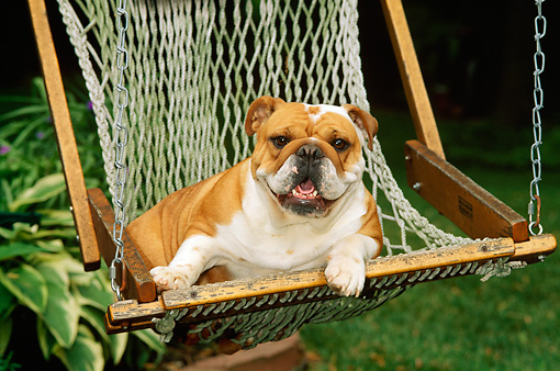 DOG 05 CE0018 01 © Kimball Stock Bulldog Laying In Hammock On Grass