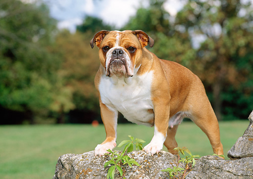 DOG 05 CE0020 01 © Kimball Stock Bulldog Standing On Rock By Grass Trees