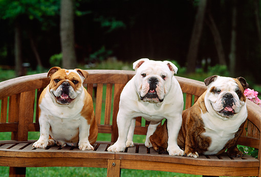 DOG 05 CE0026 01 © Kimball Stock Three Bulldogs Sitting On Wooden Bench By Grass Trees