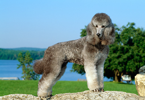 DOG 05 CE0027 01 © Kimball Stock Standard Poodle Standing On Boulder By Grass Trees Lake Blue Sky