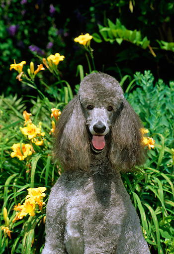 DOG 05 CE0028 01 © Kimball Stock Shoulder Shot Of Standard Poodle Sitting By Yellow Flowers