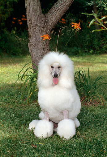 DOG 05 CE0031 01 © Kimball Stock Standard Poodle Sitting On Grass By Tree Flowers