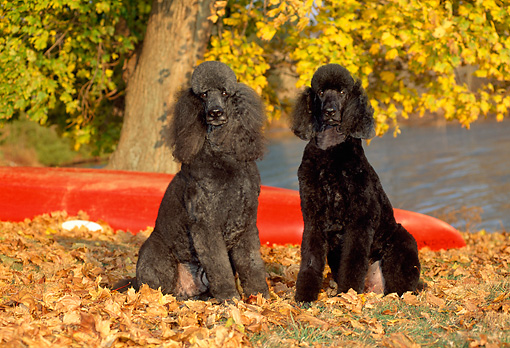 DOG 05 CE0033 01 © Kimball Stock Two Standard Poodles Sitting On Autumn Leaves By Tree And Red Canoe