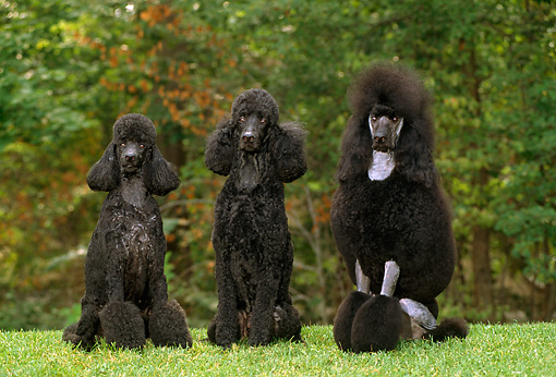 DOG 05 CE0034 01 © Kimball Stock Three Standard Poodles Sitting On Grass By Trees