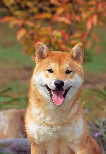DOG 05 CE0037 01 © Kimball Stock Shoulder Shot Of Shiba Inu By Autumn Leaves