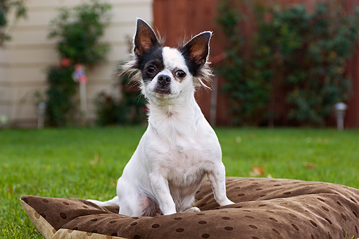 DOG 05 CW0001 01 © Kimball Stock Portrait Shot Of Chihuahua Longhair White And Black Spots Sitting On Pillow