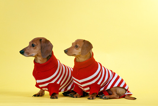 DOG 05 DC0020 01 © Kimball Stock Two Dachshunds Wearing Sweaters Yellow Background