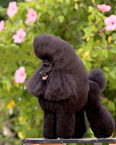 DOG 05 DC0045 01 © Kimball Stock Portrait Of Black Miniature Poodle