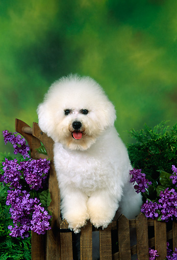 DOG 05 FA0005 01 © Kimball Stock Bichon Frise Standing On Wooden Cart By Purple Flowers
