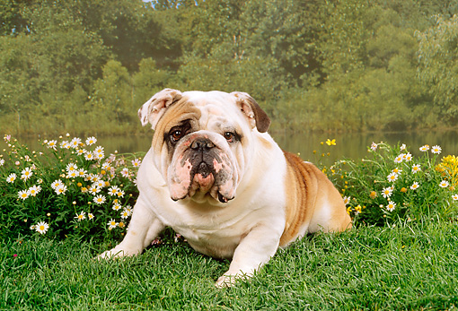 DOG 05 FA0008 01 © Kimball Stock Bulldog Laying On Grass By Flowers