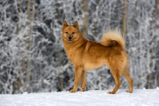 DOG 05 KH0005 01 © Kimball Stock Finnish Spitz Standing On Snow By Forest