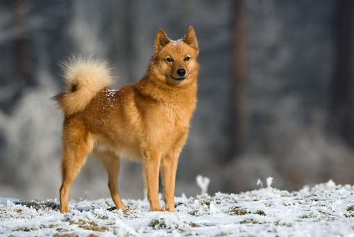 DOG 05 KH0011 01 © Kimball Stock Finnish Spitz Standing On Snow By Woods