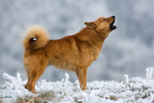 DOG 05 KH0012 01 © Kimball Stock Finnish Spitz Standing On Snow Howling Profile