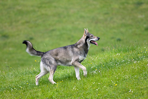 DOG 05 KH0013 01 © Kimball Stock Saarloos Wolfdog Walking In Field Profile
