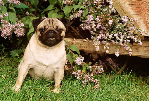 DOG 05 LS0001 01 © Kimball Stock Pug Sitting On Grass By Lilacs And Wheelbarrow