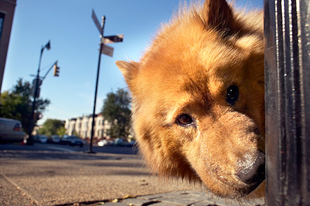 DOG 05 MQ0008 01 © Kimball Stock Head Shot Of Chow Chow Peeking Brooklyn New York