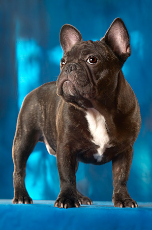DOG 05 MQ0024 01 © Kimball Stock Portrait Of French Bulldog Standing Blue Background