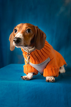 DOG 05 MQ0025 01 © Kimball Stock Portrait Of Dachshund Sitting In Sweater Blue Background
