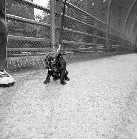 DOG 05 MQ0030 01 © Kimball Stock Black Chihuahua On Leash Sitting On Pavement Manhattan New York