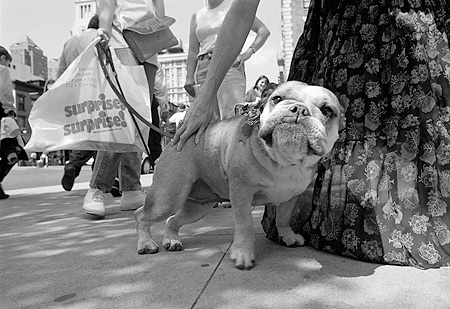 DOG 05 MQ0033 01 © Kimball Stock Bulldog On Leash Standing On Pavement Manhattan New York