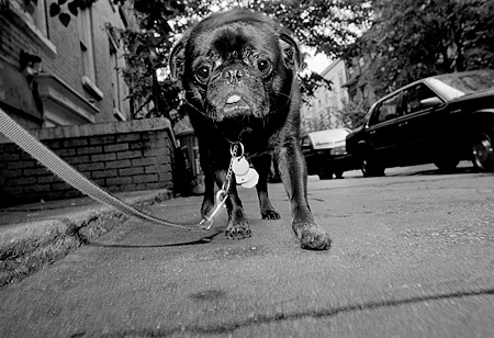 DOG 05 MQ0037 01 © Kimball Stock Black Pug On Leash Walking On Sidewalk Manhattan New York
