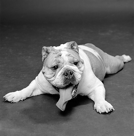 DOG 05 MQ0039 01 © Kimball Stock Bulldog Laying Down Legs Out