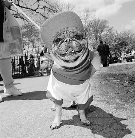 DOG 05 MQ0041 01 © Kimball Stock Humorous Shot Of Pug Dressed Up Manhattan New York