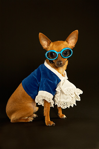 DOG 05 MQ0065 01 © Kimball Stock Humorous Brown Chihuahua Wearing Blue Shirt With Ruffles And Glasses On Dark Background