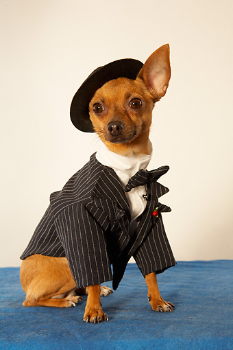 DOG 05 MQ0066 01 © Kimball Stock Humorous Brown Chihuahua Wearing Pinstripe Suit, Bow Tie And Beret On Blue Carpet